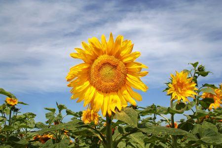 Sunflower on a field photo