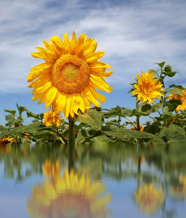 Sunflowerfield with reflection in water photo
