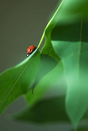 Ladybird taking a walk photo