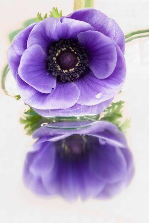 highkey: Anemone with reflection