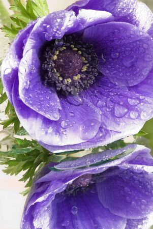 Anemone with drops of water photo