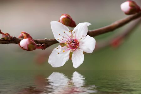 Almond flower with reflection in water Stock Photo