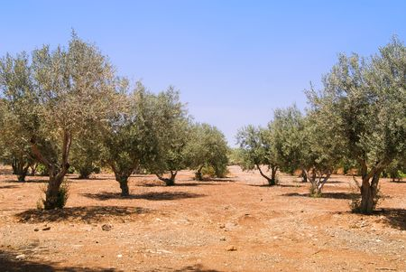 Field of olive trees photo