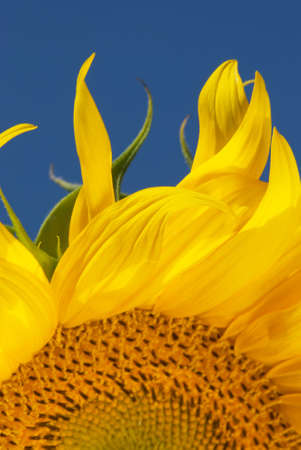 Leaves of sunflower photo