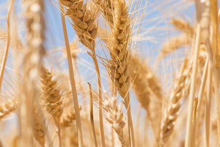 Bereich der Weizen Lizenzfreie Bilder