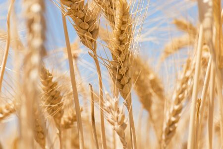 Field of wheat Stock Photo - 2988439