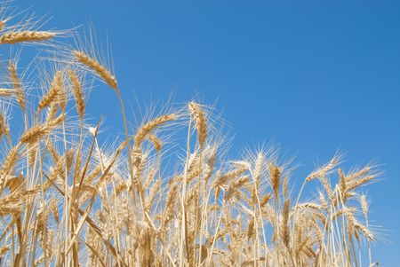 Field of wheat Stock Photo - 2988442
