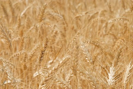 Wheat on a field Stock Photo - 3006786
