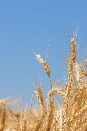 cropcircle: Field of wheat on a blue sky Stock Photo