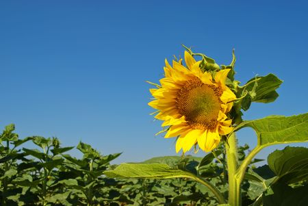 Sunflower on a field photo