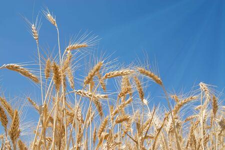 Bereich von Weizen mit Sonnenstrahlen ber�hren die Strohhalme