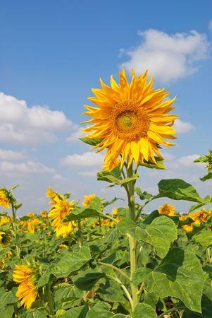 Sunflowerfield photo