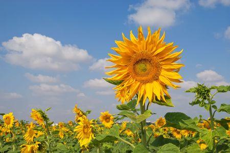 Beautiful sunflowerfield photo