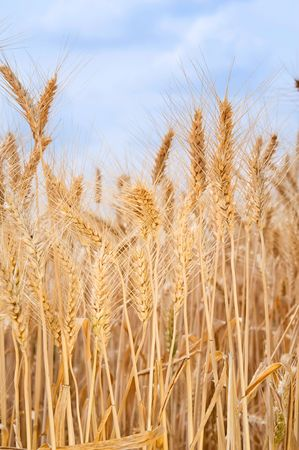Field of wheat  Stock Photo - 4865673
