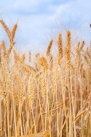 cropcircle: Field of wheat  Stock Photo