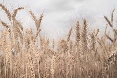 Field of wheat in sepia Stock Photo - 4882349