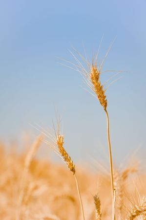 Field of wheat Stock Photo - 4949423