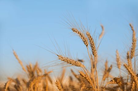 Field of wheat Stock Photo - 5032838