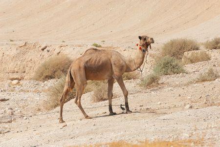 Camel in the desert Stock Photo - 5727356