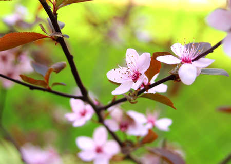 drooping: Pink drooping cherry blossoms