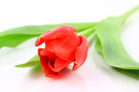 Beautiful red tulip isolated on white