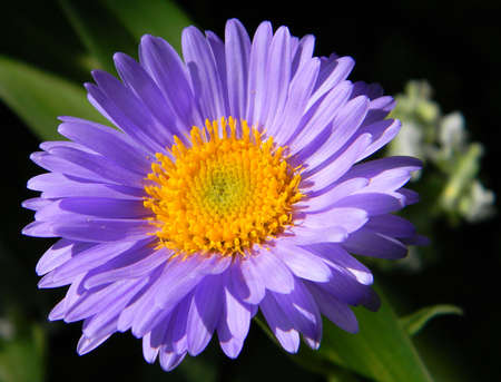 Blooming Aster in a Garden