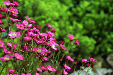 Saxifrage pink flowers on background