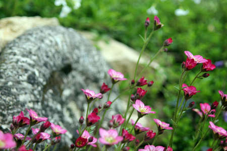 Saxifrage Arends in the garden
