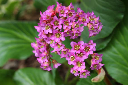 Pink flowers are called Bergenia cordifolia or Elephant ears Stock Photo