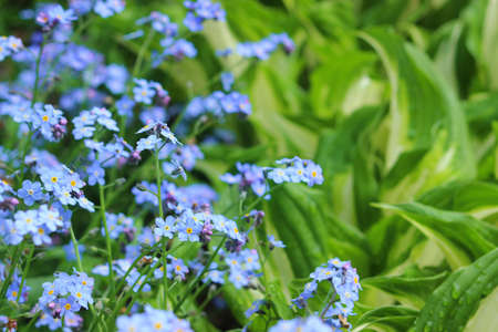 Blue forget-me-nots in the spring garden Stock Photo