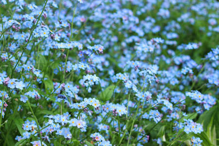 The field of blue forget-me-not as background