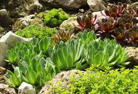 An alpine succulent forming a compact rosette on the rockery