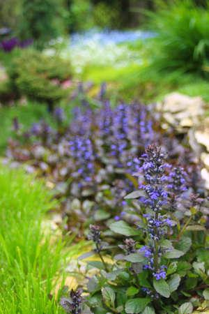Atropurpurea bugle in the garden