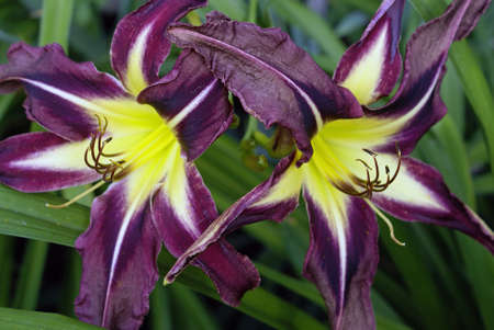 Beautiful daylily - Planet Max, a form of spider