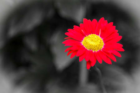 A flower of a red pyrethrum on a blurry dark background - a bright vignette Stock Photo