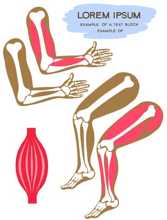 Illustration vectorielle. Style de dessin animé plat. Membres supérieurs et inférieurs de l'homme. Muscles du squelette, des jambes et des bras. Manuel pour enfants. Vecteurs