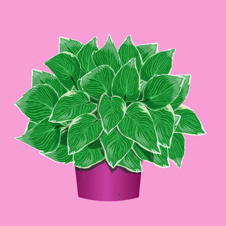 Hosta in a flower pot on pink background
