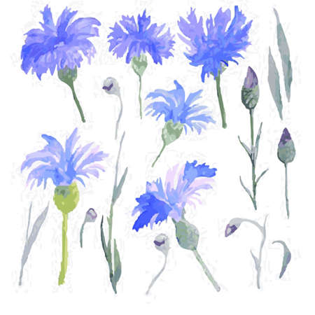 BLUE CHICORY and sprigs on a white background illustration.
