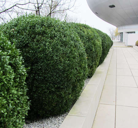 Green shrubs round shape on the background of trees, tiles and modern building. Zdjęcie Seryjne