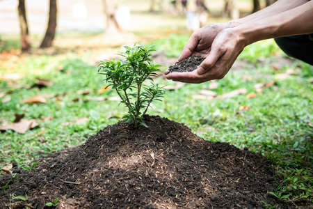 Man holding the soil in two hands to add more soil to the planted seedlings into the ground while working in the garden and reforestation for environment earth Standard-Bild