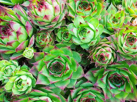 Garden of succulent plants Stock Photo