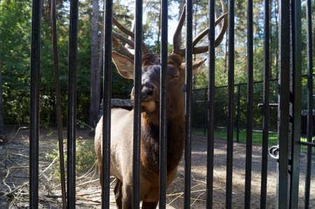 deer behind bars at the zoo chews