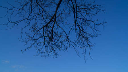 Background, the silhouette of a branched tree against the blue sky in the spring, begins to produce green leaves, bottom view