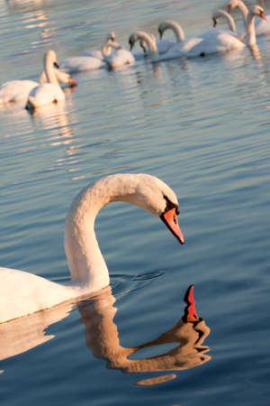 Swans Stock Photo - 14836147