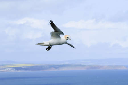 Gannet soaring in the sky