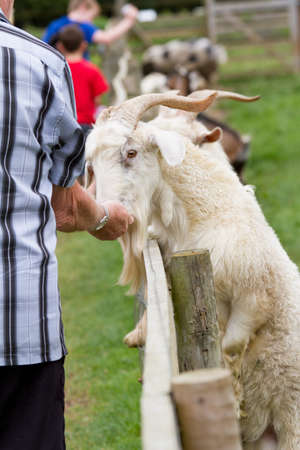 Goat taking food from a hand photo