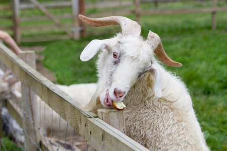billy goat: Goat eating an apple Stock Photo