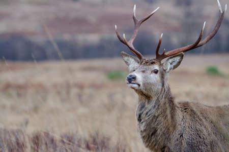 Reindeer Stock Photo - 17365916