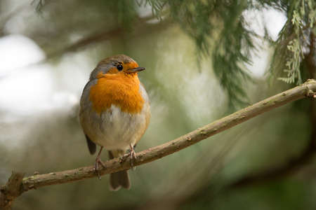 Robin Redbreast photo