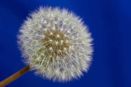 Dandelion florets